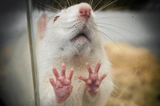 Szczury w Krakowie nie mają łatwego życia