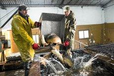 Już wiadomo, że w tym roku polskich karpi będzie nawet o 1/3 mniej, bo rybacy mieli mało narybku.