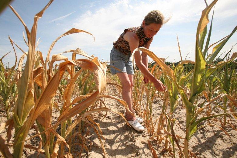 Plony, z powodu tegorocznej suszy, są wyschnięte. Rolnicy alarmują, że to klęska urodzaju