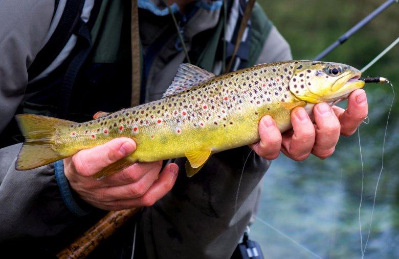 Pstrąg Potokowy to rzadka rybka. Nie występuje często w polskich rzekach ze względu na zanieczyszczenia.