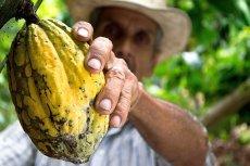 Ziarna kakaowca okazały się najlepszą inwestycją na rynku kontraktów terminowych