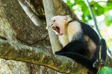 Chcesz nauczyć się oszczędzania? Małpy (jak widoczna na zdjęciu kapucynka) są w tym bardzo dobre.