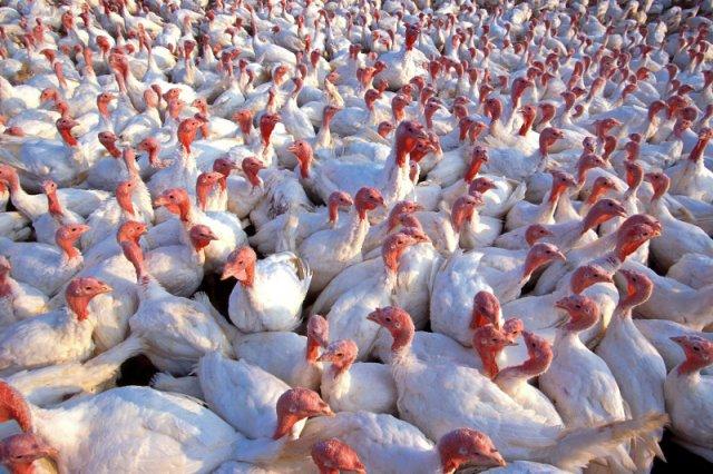 Polska od lat utrzymuje pozycję lidera eksportu mięsa drobiowego w Unii Europejskiej