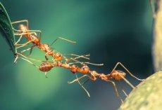 Mrówki okazują się bardzo podobne do ludzi, udowadniają to obserwacje naukowców