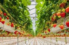 Spadły ceny i jakość truskawek w tym roku