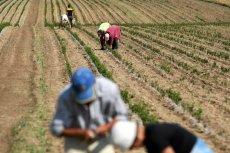 Uprawom w Polsce, oprócz suszy, zagraża brak pracowników sezonowych.
