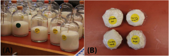 Wydzieliny z różnych części ciała w trakcie inkubacji ze świeżym mlekiem (B) Ser po koagulacji. Żadnego z nich nie skonsumowano, ale poddano je analizie zapachów i DNA w celu zidentyfikowania obecnych w serach mikrobów.