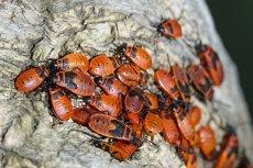 Jedzenie oparte m.in. na larwach chrząszczy, to - według IKEI - dieta przyszłości.