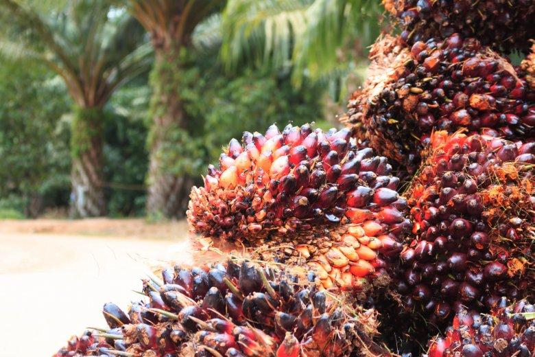 Olej palmowy pozyskiwany jest z olejowca gwinejskiego, nazywanego również palmą olejową