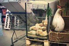 Hurtownia Costa we Wrocławiu wystawiła w swoim sklepie terrarium z żywymi kurczakami