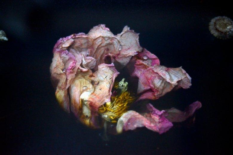 Kwiaty, które zaczynają więdnąć, są wdzięcznym obiektem artystycznej refleksji.