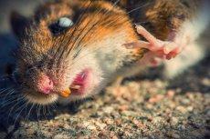 Badania na martwych myszach dowiodły, że niektóre geny ożywają po śmierci.