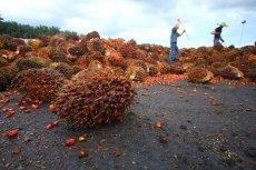 Produkcja oleju palmowego odbywa się straszliwym kosztem dla środowiska
