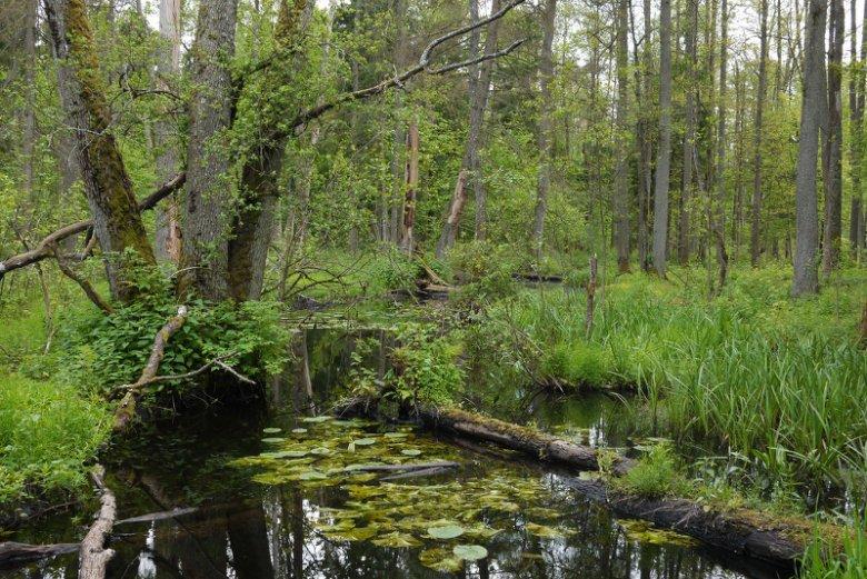 Białowieskie obszary leśne to jedyne na Niżu Europejskim lasy pierwotne.