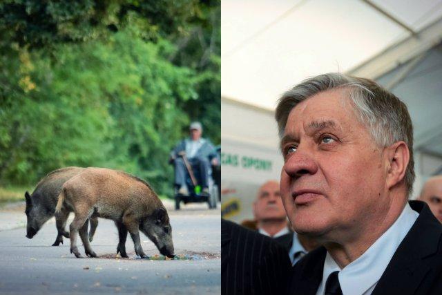 Białoruskie i ukraińskie dziki poczynają sobie na polskim pograniczu zbyt swobodnie – uznał minister rolnictwa Krzysztof Jurgiel