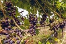 Do najbardziej znanych szczepów uprawianych na srebrnej Górze należą: Riesling, Chardonnay, Pinot Gris, Gewürztraminer, Pinot Noir, Zweigelt, Regent, Seyval Blanc.
