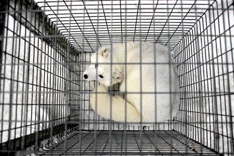 Hodowle lisów będą w Norwegii zakazane