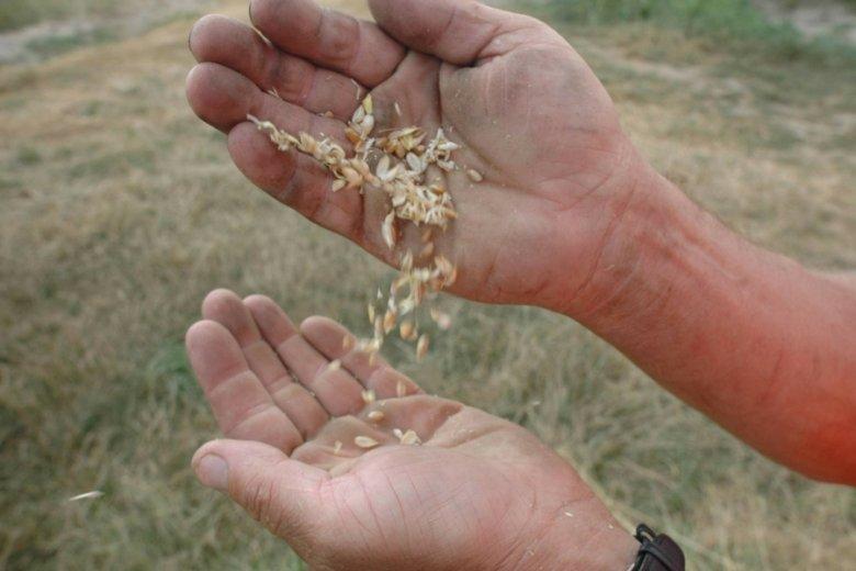 FAO już kilkakrotnie ostrzegało w tym roku przed infekcjami upraw.