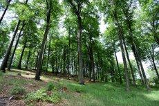 Z takiego bukowego lasu można wyciągnąć 500 euro dzięki sprzedaży certyfikatów za wchłanianie CO₂
