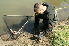 Śnięte ryby należy odławiać, żeby nie wywołać jeszcze większej katastrofy ekologicznej.