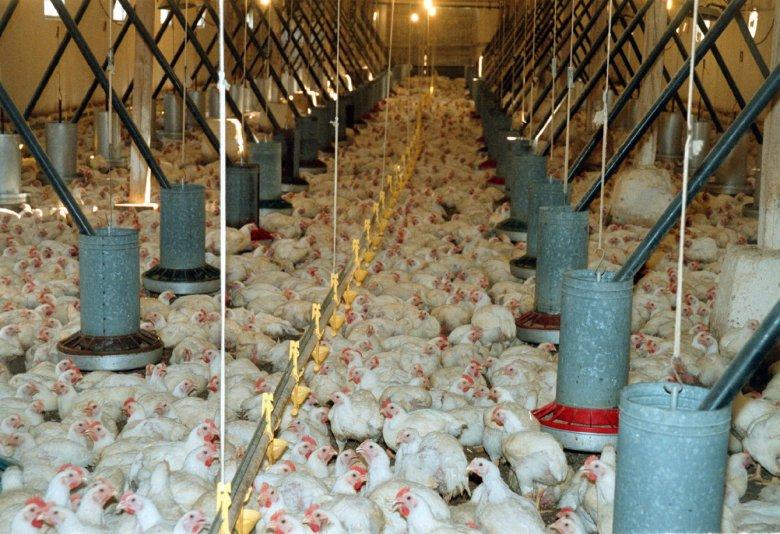 Według raportu NIK nie ma żadnej kontroli nad ilością podawanych w hodowlach zwierząt antybiotyków.