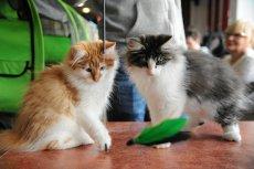 Naukowcy pokazali, jak bardzo towarzyskie są koty