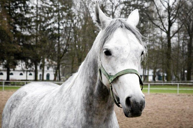 Wyniki stadnin koni arabskich napawają przerażeniem